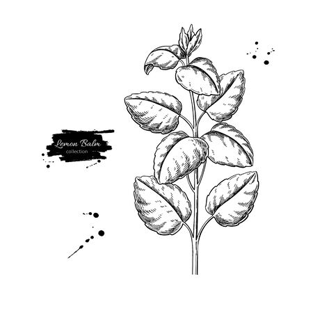 Disegno vettoriale di melissa. Ramo di pianta medica isolato con foglie