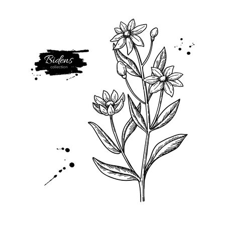 Bidens vector drawing. Isolated apache beggarticks. Medical plant with flowers and leaves. Herbal engraved style illustration. Detailed botanical sketch.  イラスト・ベクター素材