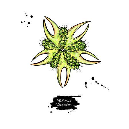 Tribulus terrestris seed vector drawing. Isolated medical plant . Herbal illustration. Ilustração
