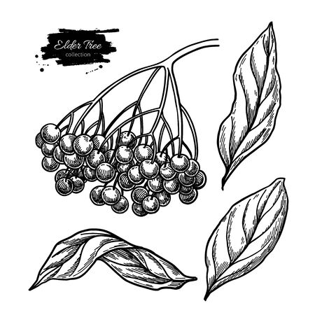 Black elderberry vector drawing set. Hand drawn botanical branch with berries and leaves. Engraved illustration of herb. Sambucus sketch for tea, organic cosmetic, medicine, aromatherapy