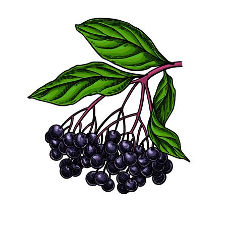 Black elderberry vector drawing. Hand drawn botanical branch with berries Illustration