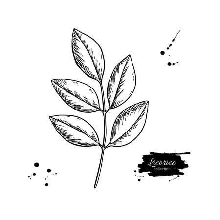 Licorice plant branch vector drawing. Botanical leaves illustration. Herbal engraved style sketch. Cosmetic and medical plant  イラスト・ベクター素材