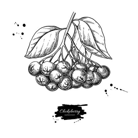 Chokeberry vector drawing. Hand drawn botanical branch with berries and leaves. Illustration of herb. Sketch for tea, organic cosmetic, medicine, aromatherapy