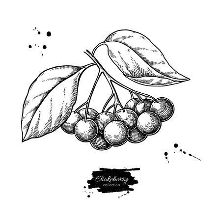 Rysunek wektor aronii. Ręcznie rysowane oddział botaniczny z jagodami i liśćmi. Ilustracje wektorowe