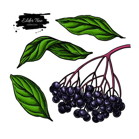 Black elderberry vector drawing set. Hand drawn botanical branch with berries and leaves. Iillustration of herb. Sambucus sketch for tea, organic cosmetic, medicine, aromatherapy