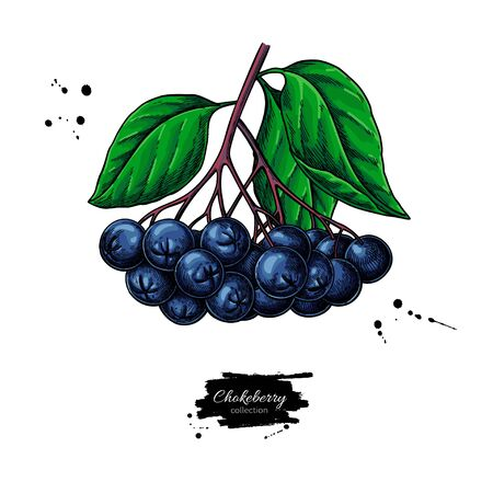 Chokeberry vector drawing. Hand drawn botanical branch with berries and leaves.