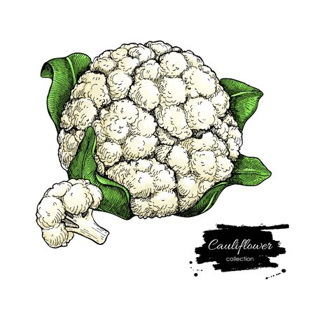 Cauliflower hand drawn vector illustration. Vegetable sketch. Isolated Cauliflower with pieces.