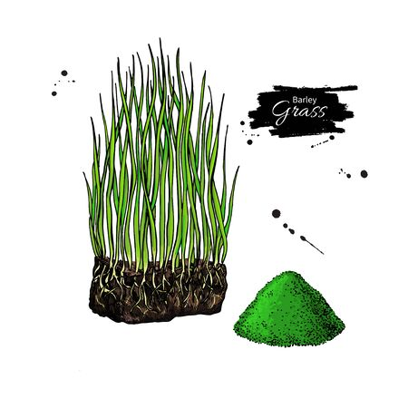 Barley grass and powder vector superfood drawing. Isolated hand drawn illustration