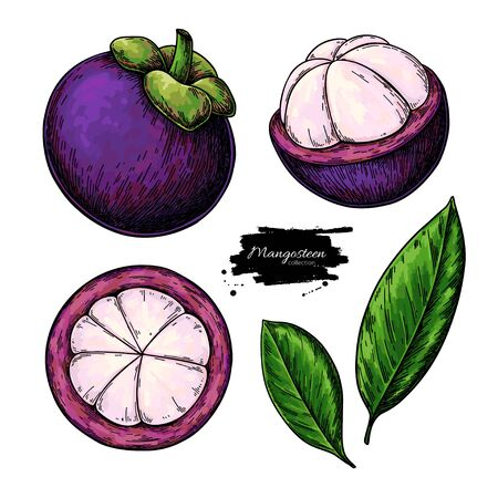 Mangosteen vector drawing set. Hand drawn tropical fruit illustration.