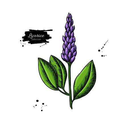 Disegno vettoriale di pianta di liquirizia. Ramo botanico con fiori e foglie