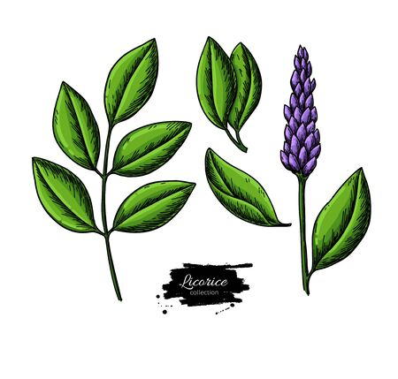 Licorice plant vector drawing set. Botanical branch with flower and leaves. Herbal sketch. Cosmetic and medical plant illustration