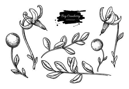 Bog cranberry vector drawing. Vaccinium oxycoccos isolated illustration.