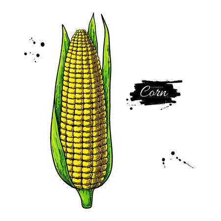 Corn hand drawn vector illustration. Isolated maize sketch. Vegetable object.  イラスト・ベクター素材