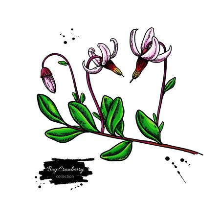 Bog cranberry vector drawing. Vaccinium oxycoccos isolated illustration Illustration