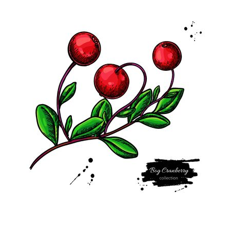 Bog cranberry vector drawing. Vaccinium oxycoccos isolated illustration 向量圖像