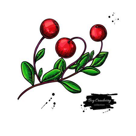 Bog cranberry vector drawing. Vaccinium oxycoccos isolated illustration Çizim
