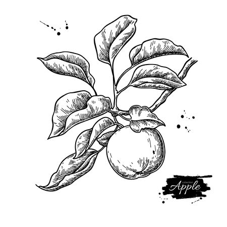 Apple vector drawing. Hand drawn tree branch with fruit and leaves. Summer food engraved style illustration. Detailed vegetarian sketch. Great for juice or cider packaging design, label, poster, print.