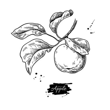 Apple vector drawing.  Summer food engraved style illustration.