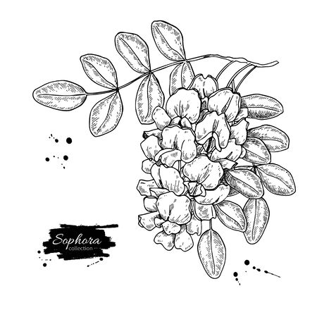 Sophora Japonica vector drawing on white Vectores