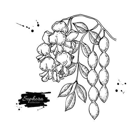 Sophora Japonica vector drawing.