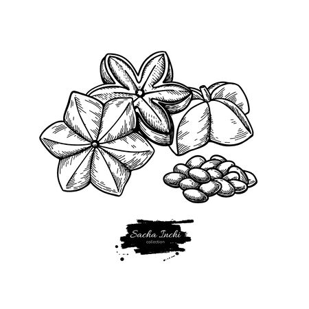 Sacha inchi vector drawing. Hand drawn peanuts and pile of seeds. Botanical illustration Illustration