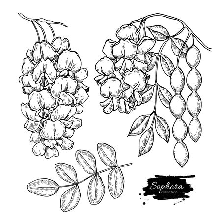 Sophora Japonica vector drawing. Hand drawn botanical branch with flowers, pod and leaves.