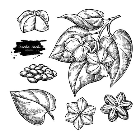 Sacha inchi vector drawing. Hand drawn branch with peanuts and leaves, pile of seeds