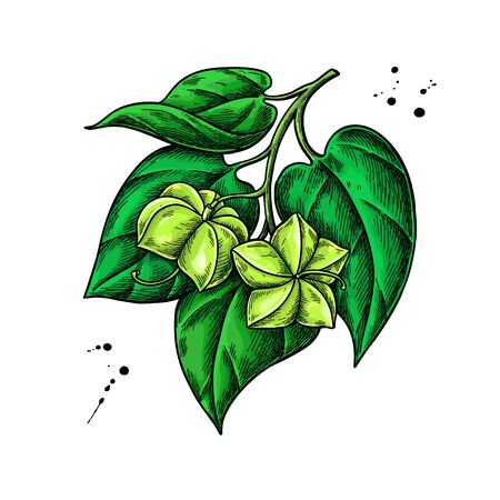 Sacha inchi vector drawing. Hand drawn plant branch with peanuts and leaves. Botanical illustration.