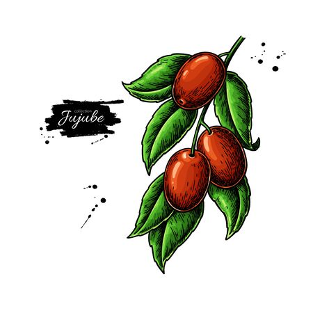 Jujube branch vector drawing. Chinese Date isolated illustration. Hand drawn botanical berries Иллюстрация