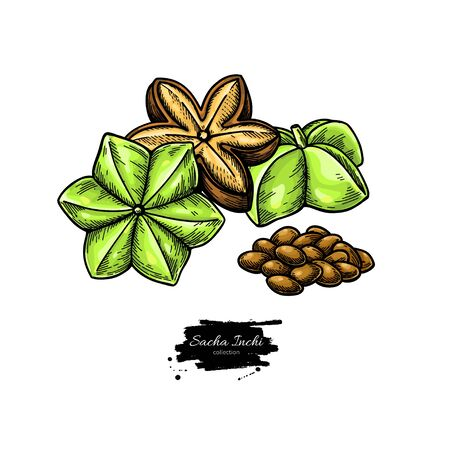 Sacha inchi vector drawing. Hand drawn peanuts and pile of seeds. Botanical illustration. Herbal style sketch Иллюстрация