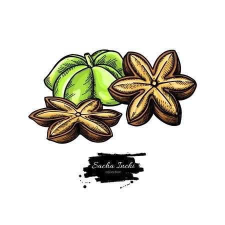 Sacha inchi vector drawing. Botanical illustration of hand drawn peanuts. Herbal style sketch. Vecteurs
