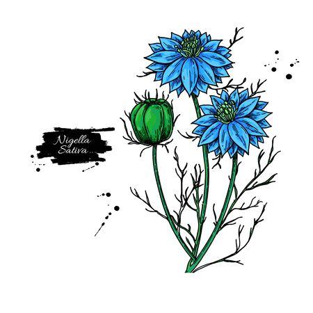 Nigella sativa vector drawing. Black cumin isolated illustration. Ilustracje wektorowe