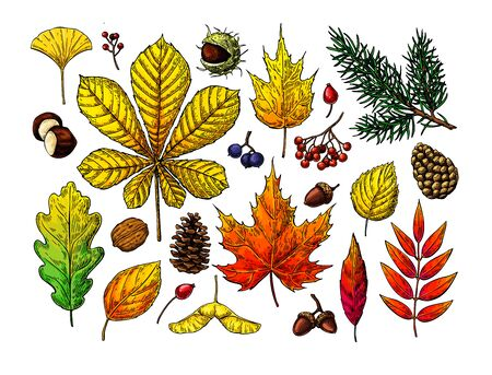 Autumn vector set with leaves, berries, fir cones, nuts, mushrooms and acorns sketches. Forest botanical elements for decoration. Vintage hand drawn fall set. Oak, maple, chestnut leaf drawing. Иллюстрация