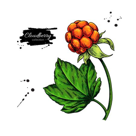Cloudberry vector drawing. Organic berry food sketch. Illustration of superfood. Botanical branch. Hand drawn icon for label, poster, packaging design. Иллюстрация
