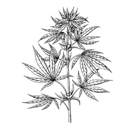 Marijuana plant vector drawing. Cannabis botanical illustration. Hemp vintage sketch. Medical drug. Engraving style object isolated on white background. Great for shop label, emblem, sign, packaging
