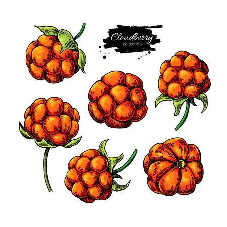 Cloudberry vector drawing. Organic berry food sketch. Botanical illustration of superfood. Hand drawn icon for label, poster, packaging design.