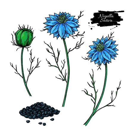 Nigella sativa vector drawing.