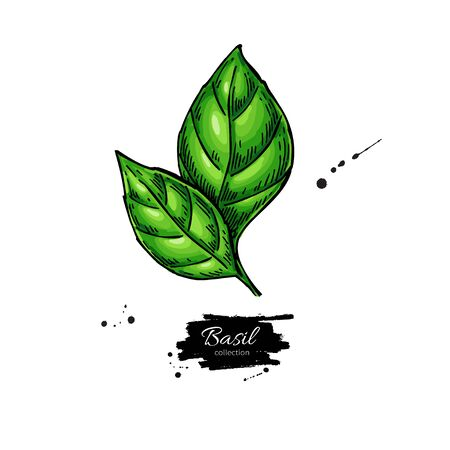 Basil vector drawing. Isolated Basil leaves. Herbal illustration. Иллюстрация