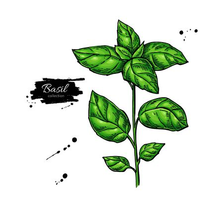 Basil vector drawing. Isolated Basil leaves. Herbal illustration. Detailed organic product sketch. Cooking spicy ingredient