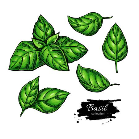 Basil vector drawing set. Isolated plant with leaves. Herbal illustration.