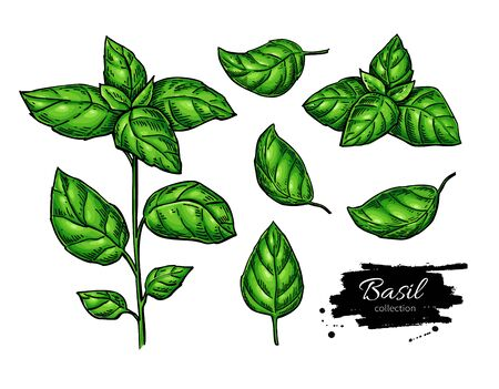 Basil vector drawing set. Isolated plant with leaves. Herbal illustration. Detailed organic product sketch. Cooking spicy ingredient Иллюстрация