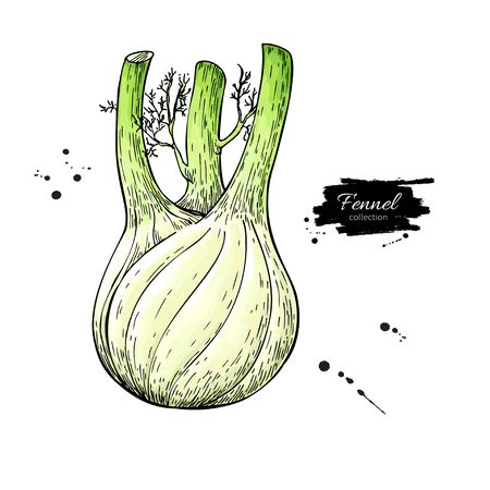 Fennel hand drawn vector illustration. Isolated Vegetable object. Detailed vegetarian food drawing. Farm market product. Great for menu, label, icon