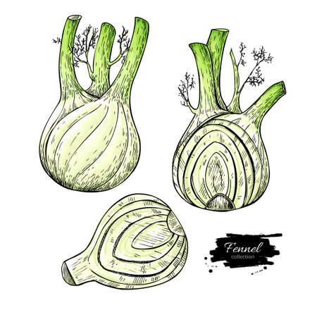 Fennel hand drawn vector illustration. Isolated Vegetable object with sliced pieces set. Detailed vegetarian food drawing. Farm market product. Great for menu, label, icon Иллюстрация