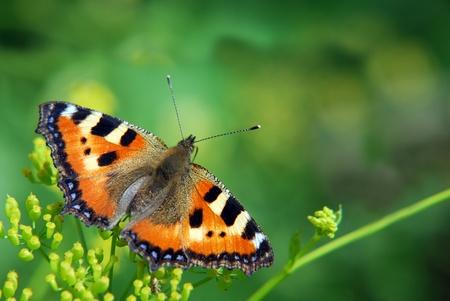 pokrzywka: Pokrzywka motyl na tle zielonej trawy Zdjęcie Seryjne