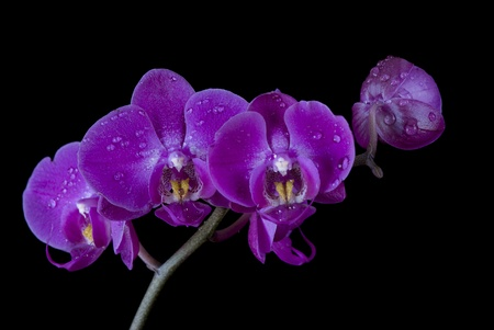 Orchid covered dew drops on a black background photo