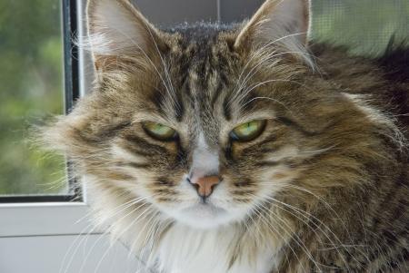 antagonistic: severe cat looks bleak Stock Photo