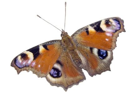 peacock butterfly: Mariposa de Peacock europeo aislado en blanco