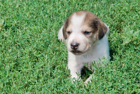 piebald: Russian piebald hound puppy in the grass outdoors Stock Photo