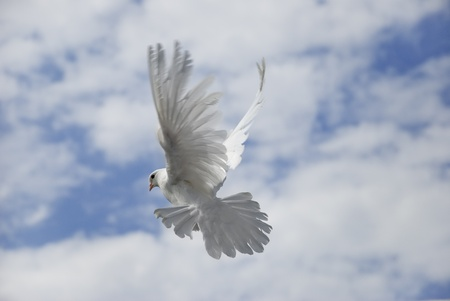 White dove flying against the blue sky with clouds photo