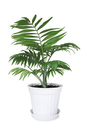 House plant Chamaedorea in a flower pot on a white background